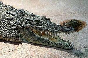 Deutsch: Leistenkrokodil (Crocodylus porosus) ...