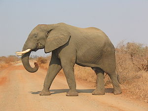 "Savanna elephant ""Loxodonta africana""..."