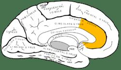 Gray727 anterior cingulate cortex.png
