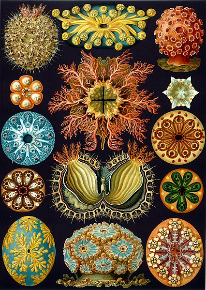 https://i1.wp.com/upload.wikimedia.org/wikipedia/commons/thumb/2/22/Haeckel_Ascidiae.jpg/426px-Haeckel_Ascidiae.jpg