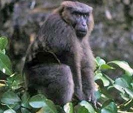 Целебесский макак — Википедия