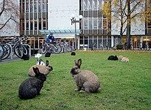 ภาพกระต่าย(มองหน้าอย่างรู้ใจกัน) - ภาพจากวิกิพีเดีย
