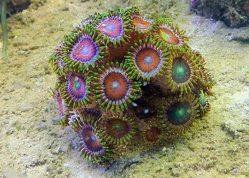 Dragon eye zoanthid coral