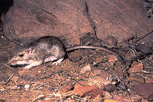 Bailey's Pocket Mouse (Chaetodipus baileyi) is...