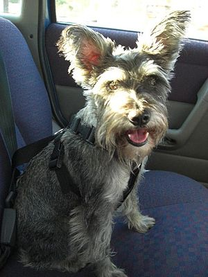 Miniature schnauzer in car, seatbelted