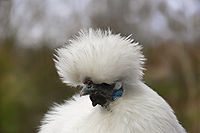 The Silkie is iconic for its unusual fur-like plumage