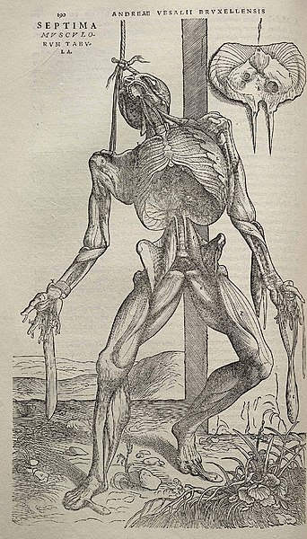 Image from Andreas Vesalius's De humani corporis fabrica (1543), page 190.