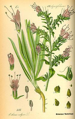Illustration Echium vulgare0.jpg