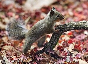 Japanese Squirrel. 日本語: ニホンリス