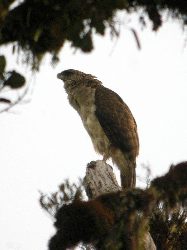 Papuan eagle - Wikipedia