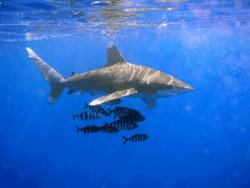 Hiu samudra berujung putih, Carcharhinus longimanus