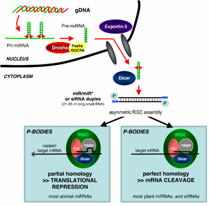 microRNA biogenesis and action.