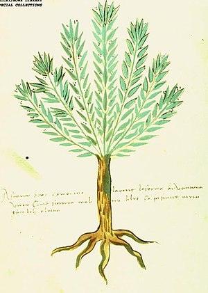 "English: ""Rosmarino"" (family Lamiace..."