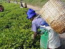 Збирання чайного листа у чайному саді у Танзанії