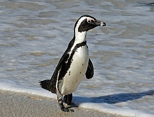 African_Penguin (Spheniscus demersus) at De Hoop Nature Reserve, South Africa. 1 October 2010.  Dick Daniels.