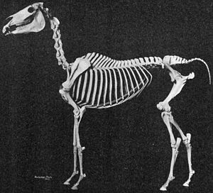 Mounted skeleton of an Arabian horse