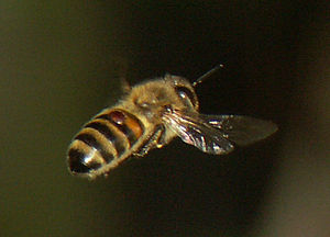 Flying bee with a varroa mite
