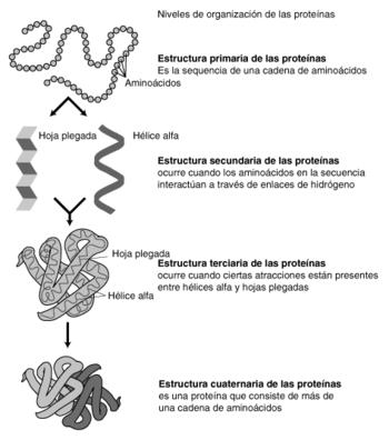 Estructura proteínas.png