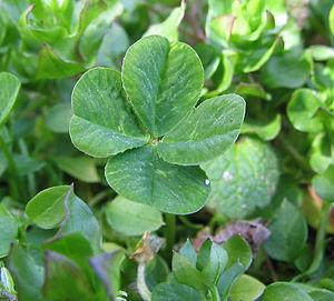 Trifolium repens ?