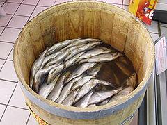 Tabal de arenques. Clupea harengus, el pez más numeroso.