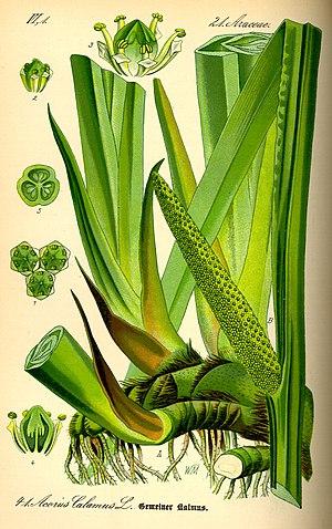 ;Name:Acorus calamus ;Family:Acoraceae Origina...