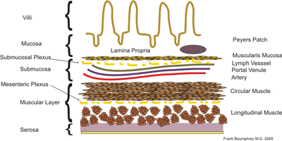 Diagram of the layers of the intestinal wall