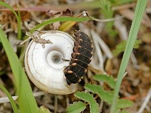 Lampyris noctiluca (Linnaeus, 1767) English: A...