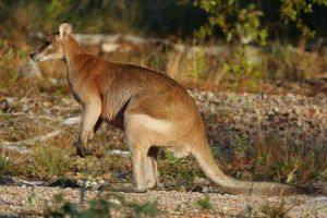 Wallaby  Wikipedia