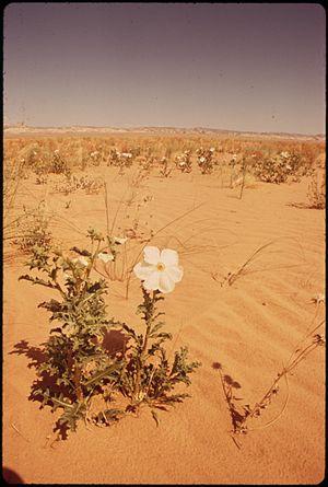 WHITE POPPY, DESERT FLOWER - NARA - 544879