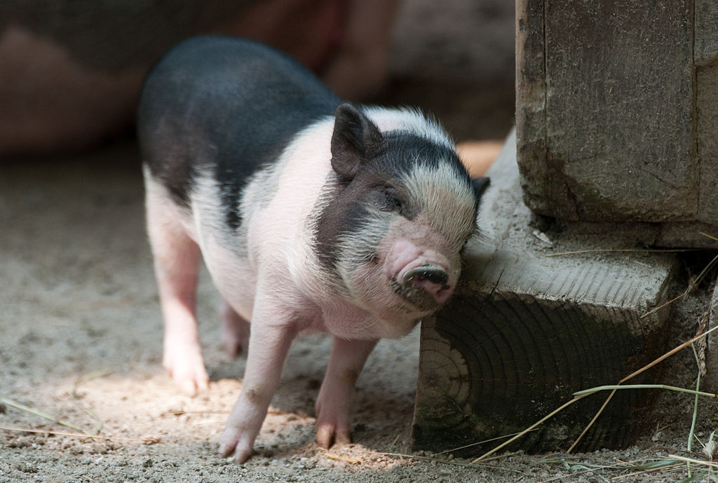 Why You Need A Teacup Pig Two Little Fleas
