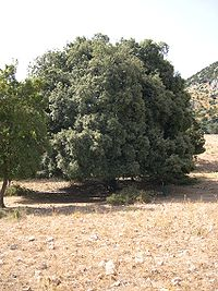Quercus ilex Madonie.JPG