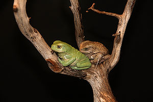 English: Waxy Monkey Tree Frogs, Phyllomedusa ...