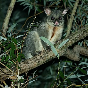 Brushtail Possum (trichosurus vulpecula) in a ...