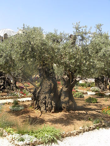 Olive trees in the traditional Garden of Geths...