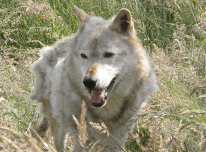 English: Kodiak, a 13-year-old captive North A...