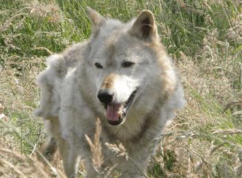 English: Kodiak, a 13-year-old captive North A...