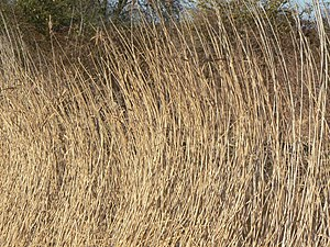English: A reed shaken by the wind More than o...
