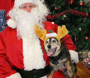 English: Cattle dog sitting on Santa's lap