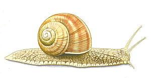 Helix pomatia, common names the Burgundy snail...