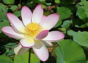 Indian Lotus, Sacred Lotus, Bean of India, Lot...