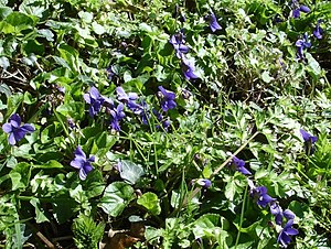 English: Violets by the Pilgrim's Way. Far fro...