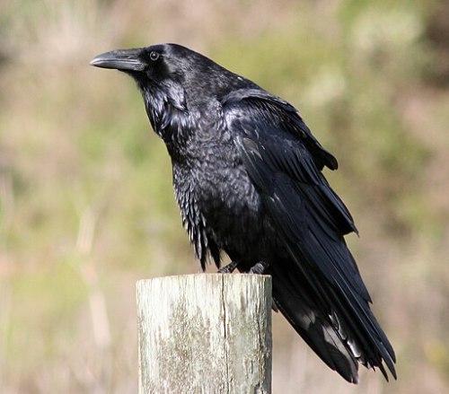 Common raven by David Hofmann