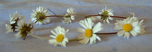 filedesc A daisy chain made out of daisies (Be...