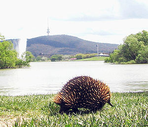In Australia, the short-beaked echidna may be found in many environments...