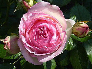 English: Rosa 'Eden Rose' (Meilland, 1985), sy...
