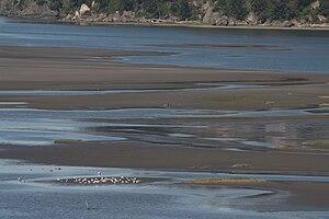 Skagit Bay mudflats; Larus sp.; Ika Island (Wa...