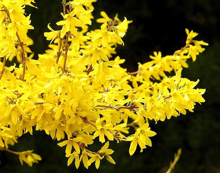 File:Forsythia flower 1r.jpg