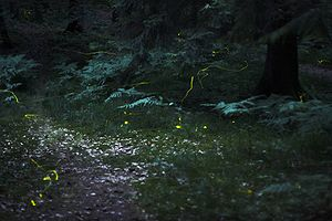 Fireflies in the woods near Nuremberg, Germany...