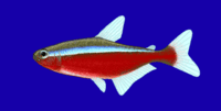 Paracheirodon axelrodi.png