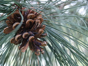 A pine cone; on a pine tree